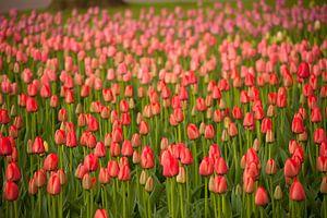 Veld met rode tulpen , Nederland van Peter Schickert