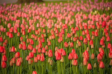 Feld mit roten Tulpen , Niederlande von Peter Schickert
