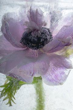 Anemonenblüte in kristallklarem Eis