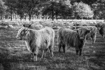 Schotse Hooglander koeien in het Drentse Aa Nationaal Park in Drenthe. van Bas Meelker
