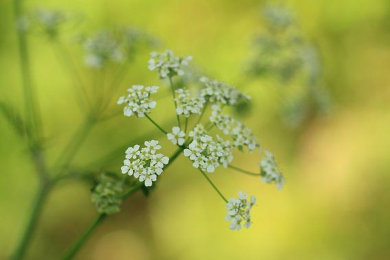 Schermbloem/plant