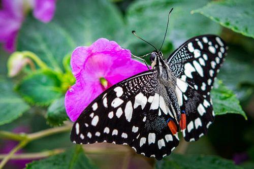Bijzondere vlinder op een roze bloem