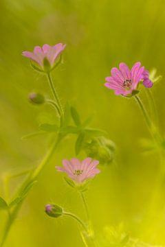 Rosa Blumen von Annika Westgeest Photography