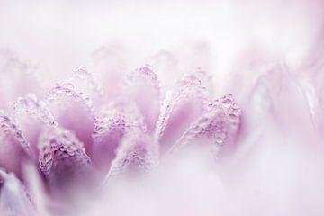 Pink Dahlia von Sense Photography