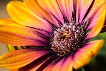 Oranje lila Margriet in de zon I van Mister Moret Photography