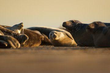 Grijze Zeehonden op het strand tijdens de zonsopkomst van Jeroen Stel