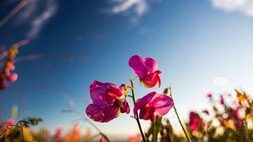 roze bloem van Sjoerd Klabbers