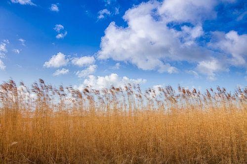 Goud gele riet halmen tegen een Hollandse bewolkte lucht. One2expose Wout Kok Photography.  van