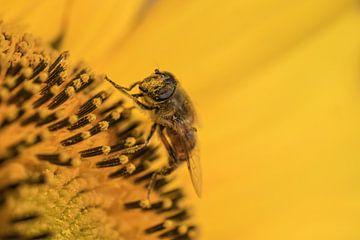 Insect op zonnebloem van Moetwil en van Dijk - Fotografie