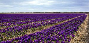 Krokussenveld Texel