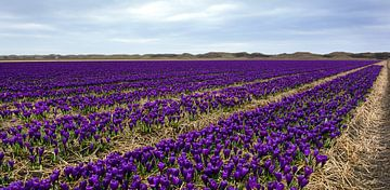Krokussenveld Texel van Ronald Timmer