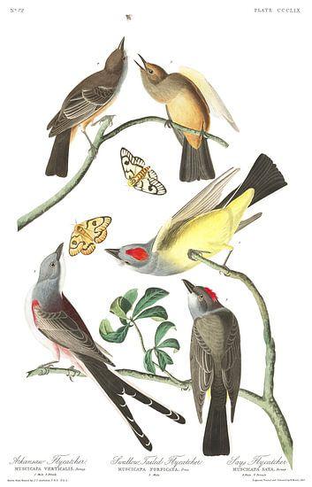 Arkansaskoningstiran van Birds of America