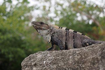 Ctenosaura similis, de Zwarte leguaan von Astrid Brouwers