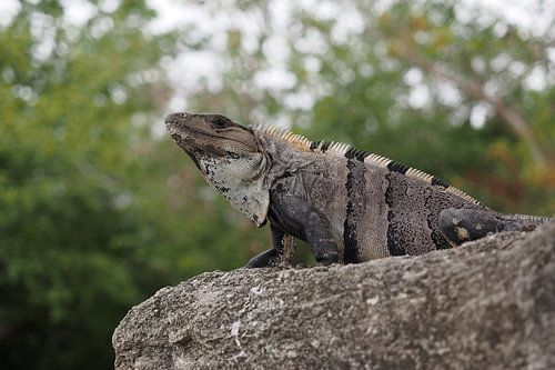 Ctenosaura similis , Black iguana von Astrid Brouwers