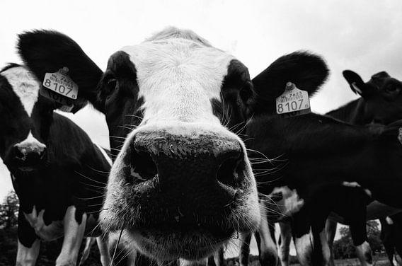 Nieuwsgierige koe zwart-wit