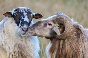 Schapenliefde / sheep love /  Schaf Liebe / amour de moutons van Karin van Rooijen Fotografie
