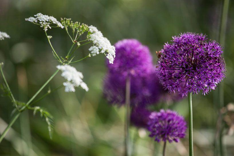 Ajuin paarse bloem sur marco de Jonge