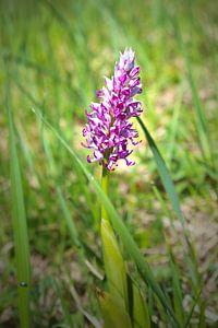 Orchideeënhelm orchidee