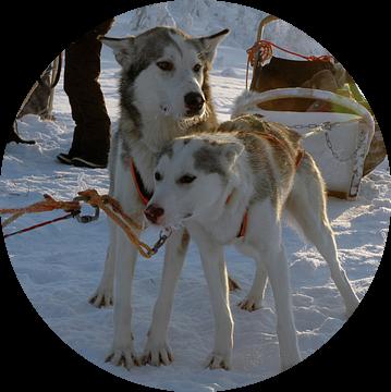 Slede honden van Barbara Koppe