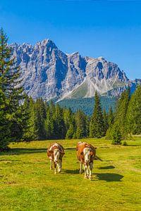 Koeien in de Dolomieten (Italië) - 2