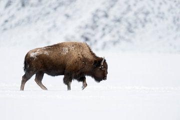 Amerikanischer Bison ( Bison bison ), Bulle läuft in typischer Haltung durch Schnee, Winter im Yello von wunderbare Erde