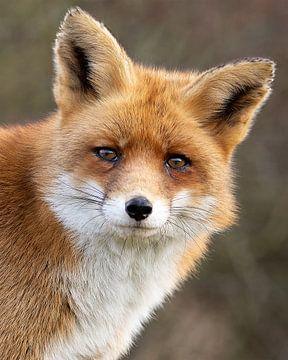 Close-up van een rode vos