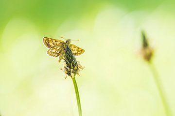 Vlinder van Francis Dost