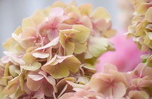 Roze hortensia van