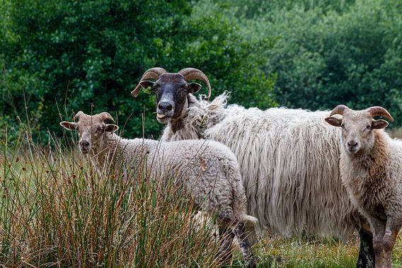 Moutons à grosses cornes