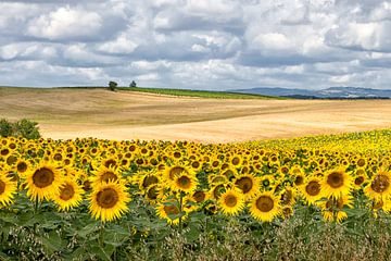 Landschap met zonnebloemen sur Fokje Otter