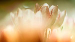 Tulpen (Soft Focus)