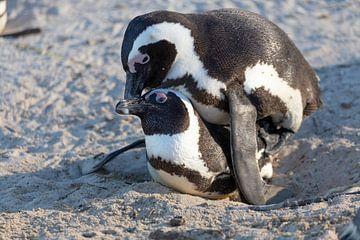 Les pingouins amoureux sur Dennis Eckert