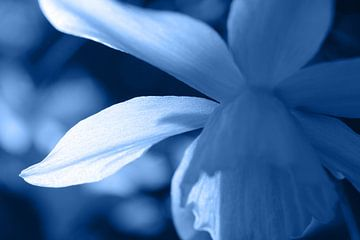 Blau getönte abstrakte florale Narzisse von Imladris Images