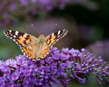 Prachtige vlinder op een bloem von Roel Van Cauwenberghe