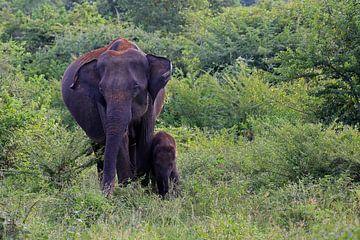 Aziatische olifant in het Udawalawe N.P. in Sri Lanka van Antwan Janssen