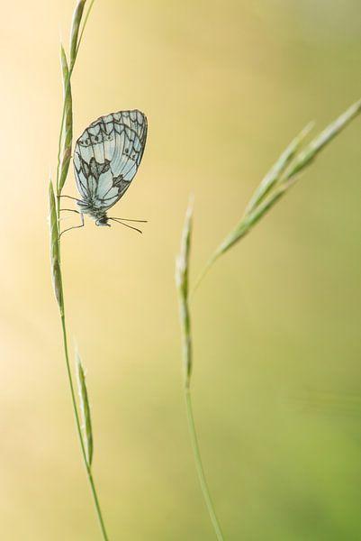 Dambordje in het gras van Elles Rijsdijk