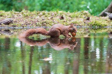 Eekhoorn van Merijn Loch