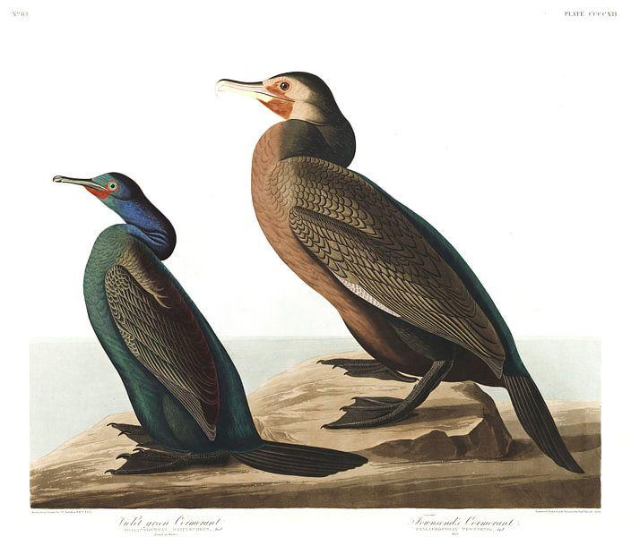 Pelagische Aalscholver van Birds of America