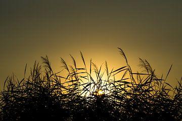 Ondergaande zon achter riet van Joost Potma
