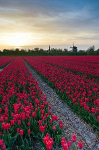 Holland tulpen bij Alkmaar van