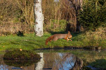 Sprung eines roten Eichhörnchens von Robin Scholte