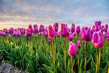 ondergaande zon boven de tulpenvelden 02 van Arjen Schippers