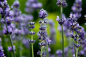 Lavendelduft sur Ostsee Bilder