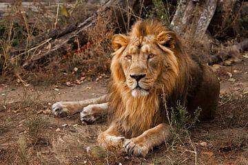 Een krachtige mannelijke leeuw met een prachtige manen ligt indrukwekkend tegen de achtergrond van s van Michael Semenov