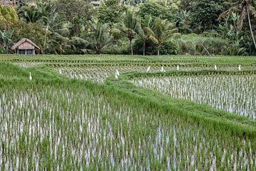 Rijstvelden  bij Ubud - Bali - Indonesie van Dries van Assen
