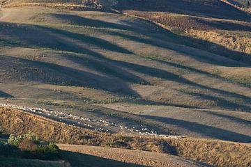 Schapen in de Toscaanse heuvels. van Rens Kromhout