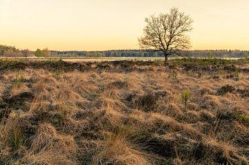 Heide in het ochtendlicht van Tony Buijse