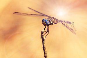 Libel met blauwe ogen