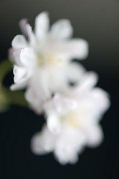 Sakura-Berührung von Remke Spijkers