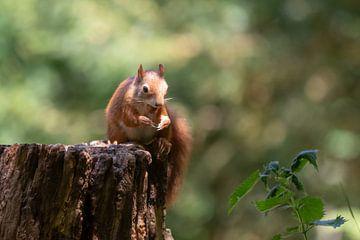 Eichhörnchen im Rampenlicht von Anjella Buckens